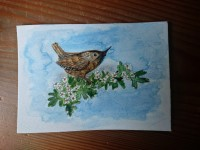 Wren on mayflower. Pencil and watercolour